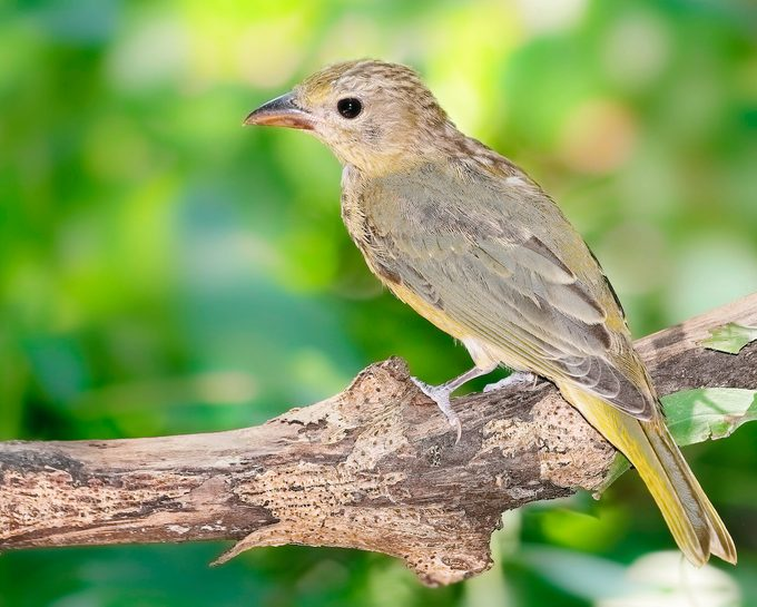 juvenile summer tanager