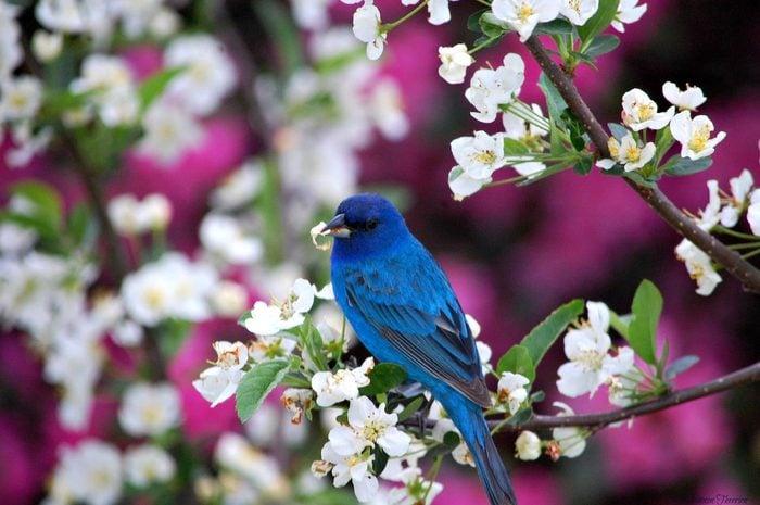 indigo bunting on spring branch