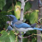 Look for California Scrub-Jays on the West Coast