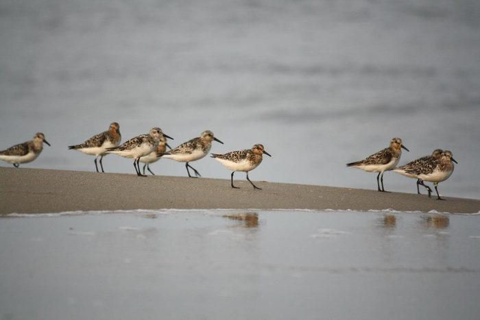 sandpipers, summer birds