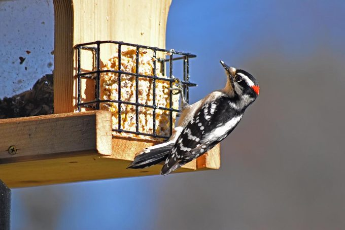 suet feeder downy woodpecker