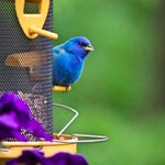 Attract Indigo Buntings With Their Favorite Foods
