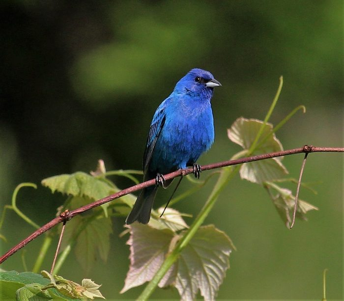 Indigo Bunting Hanging Out On The Grape Arbor In The Back Yard.