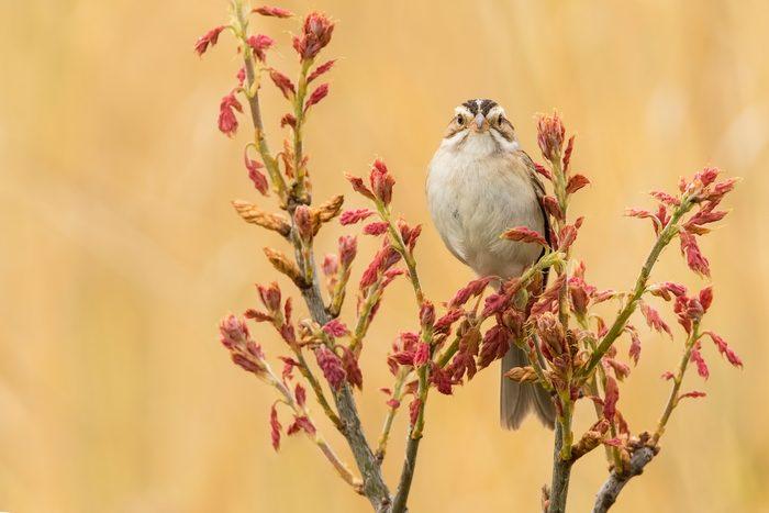 clay colored sparrow, summer birds