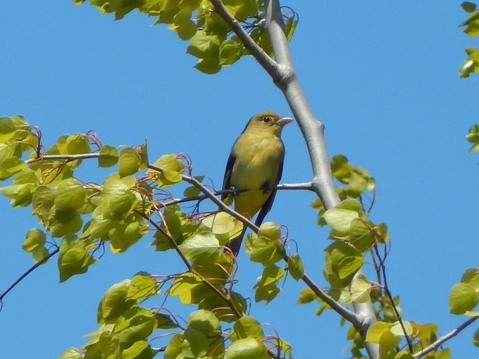 Female Scarlet Tanager; East Tawas; Mi; During Spring Migration; May 21; 2016.