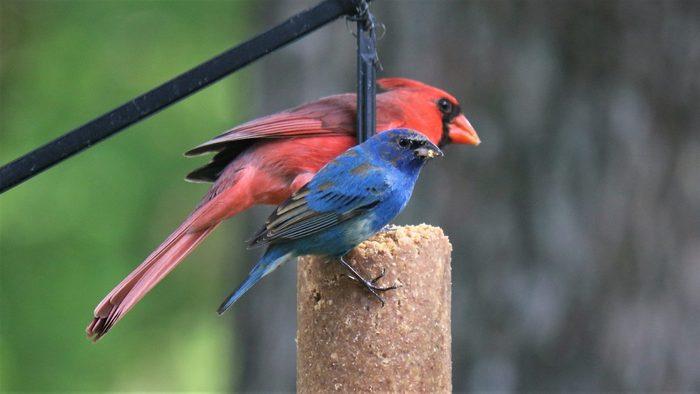indigo bunting and cardinal