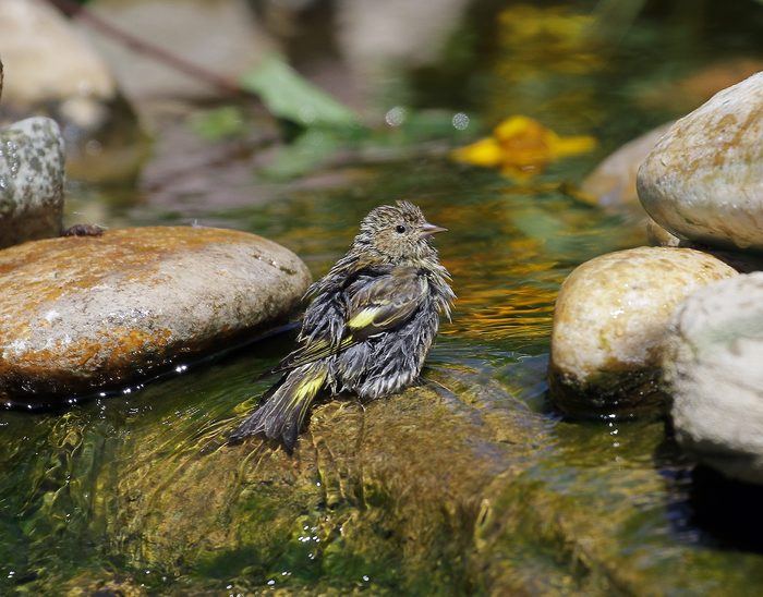 Pine Siskin Having A Bath In A Smmer Hot Day