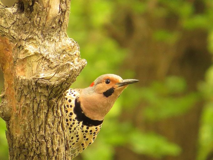 northern flicker, why do woodpeckers peck
