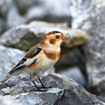 How to Identify Snow Buntings