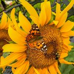 Painted Lady Butterflies Are Flying Works of Art