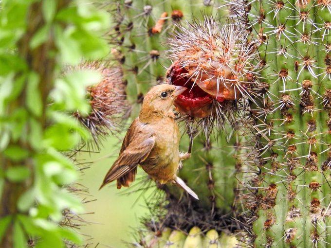 Female varied bunting on cactus