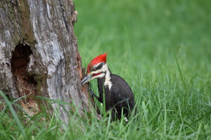 pileated woodpecker pecking on a tree