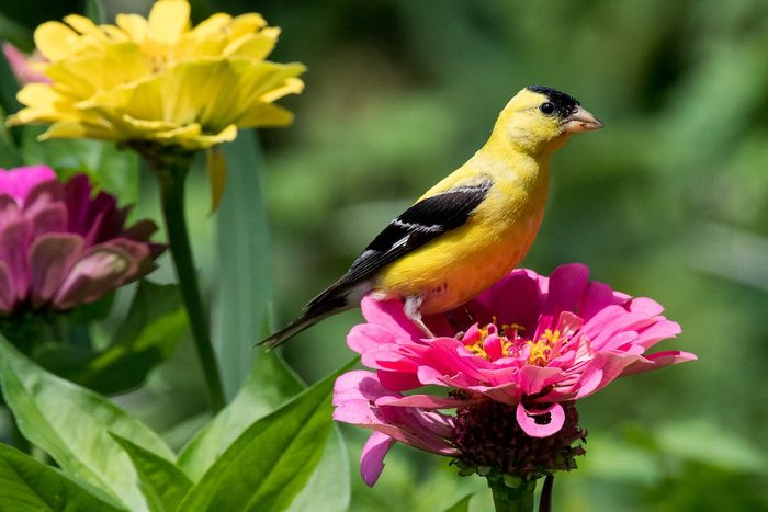 Golden Finch Taking A Rest On A Zinnia In Our Garden.