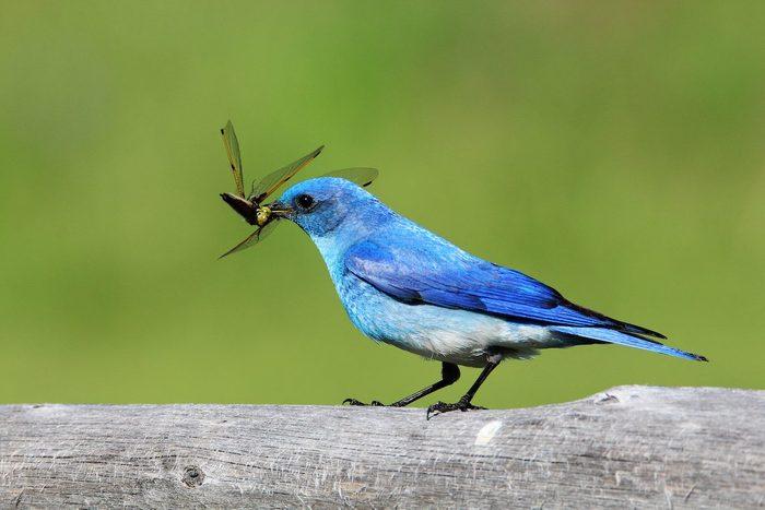 indigo bunting eating bug