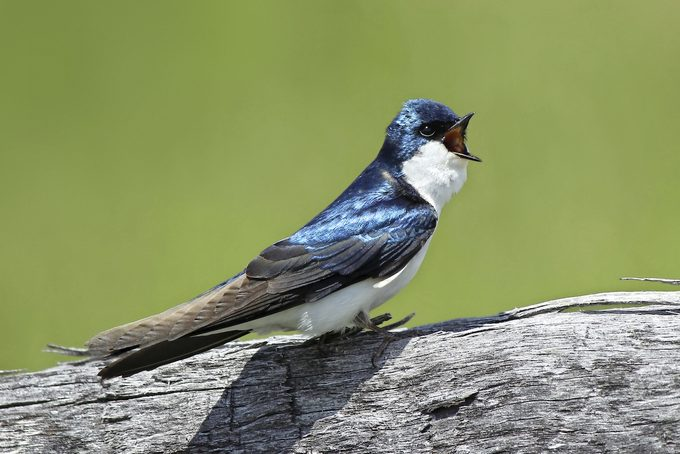 tree swallow bird