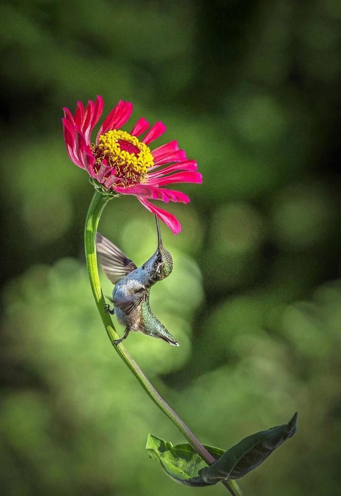 Juvenile male ruby-throated hummingbird on a zinnia