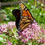 How to Get Rid of Aphids on Milkweed Plants
