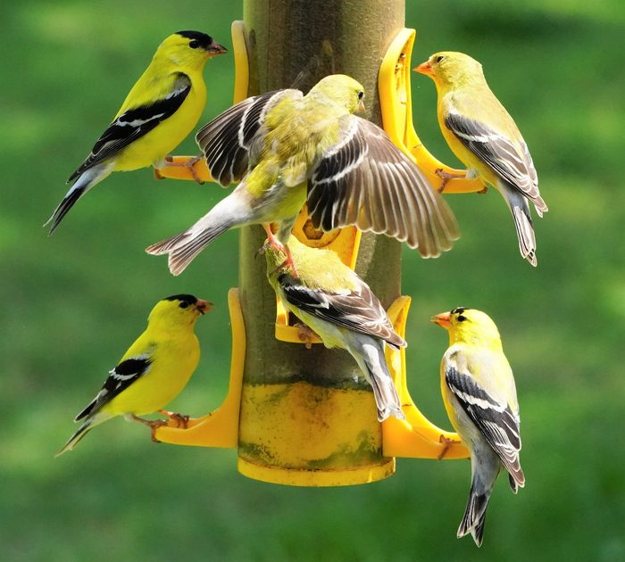 Full Goldfinch Feeder Pic For Birds & Blooms