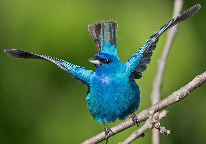 indigo bunting birds