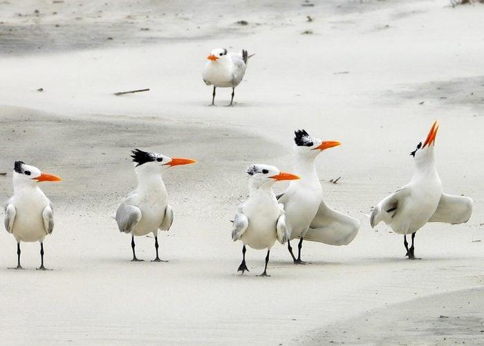 Royal terns on the Georgia coast