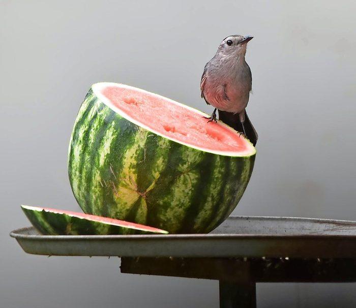 Gray catbird on watermelon