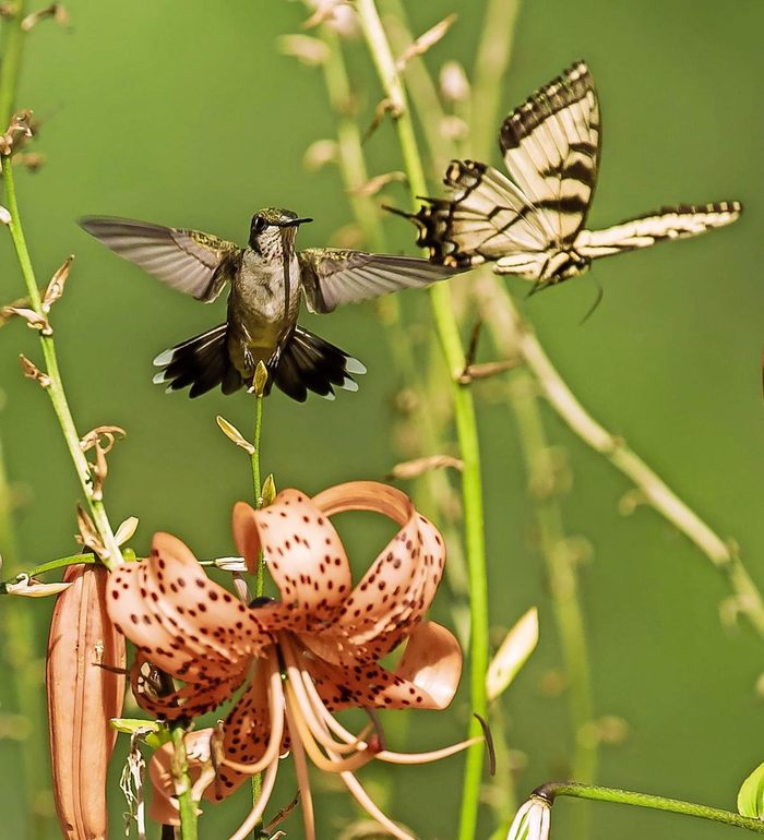 Female ruby-throated hummingbird chasing a butterfly