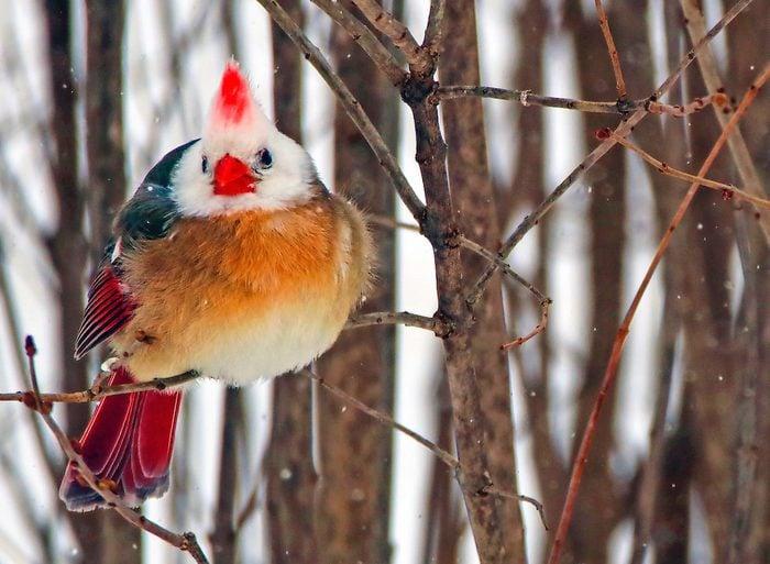 white cardinal Barbwood Bbdj20