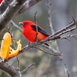 Do Scarlet Tanagers Eat Oranges?