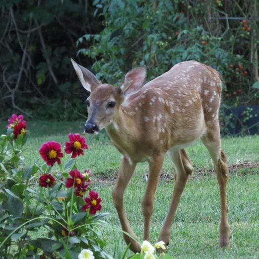 Tips for Deer Resistant Plants and Deer Deterrents