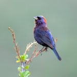 How to Identify a Varied Bunting