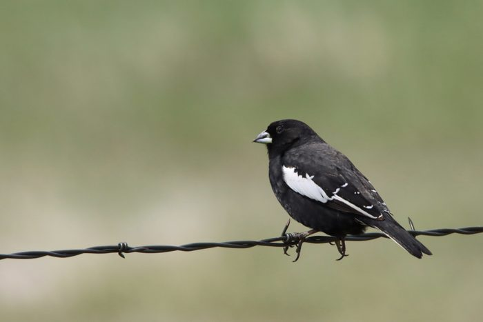 Wild lark bunting perched on barbed wire fence Pawnee National Grasslands Colorado