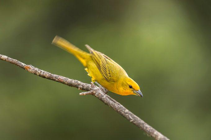 Hepatic tanager (Piranga flava)