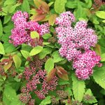 Pollinators Love Double Play Spirea