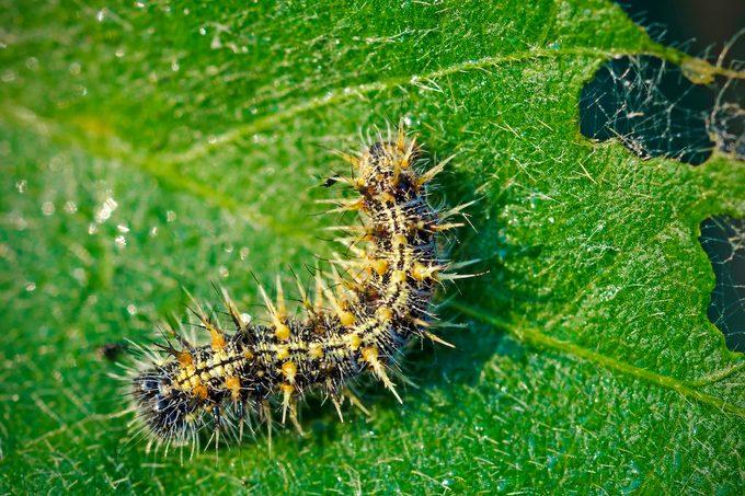 Painted Lady Caterpillar, Vanessa Cardui, Feeding On Soybean