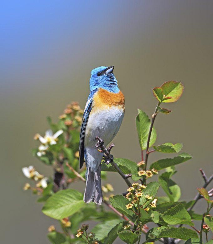 Male Lazuli Bunting