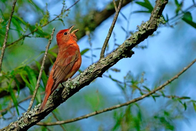 summer tanager song