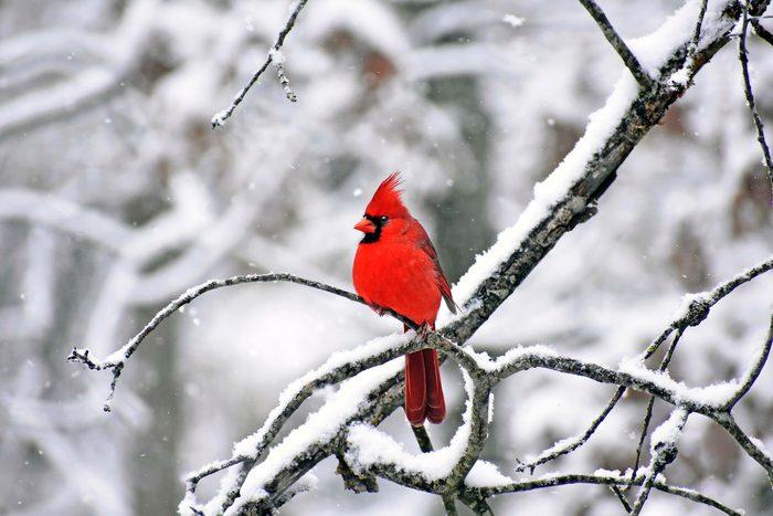 cardinal bird in snow