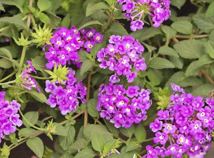 Purple Potion trailing lantana