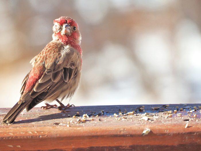 house finch disease, bird diseases