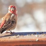 Wild Bird Diseases Update: Feeding Restrictions Are Lifted