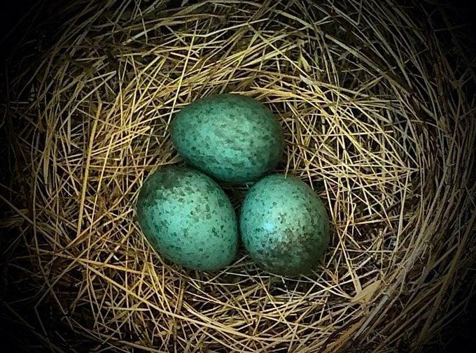 steller's jay nest