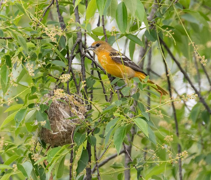 how to attract oriole, oriole nest