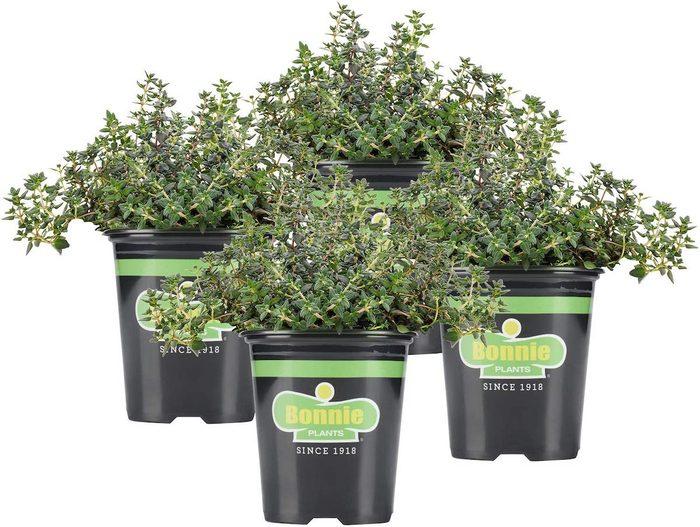 bonnie plants thyme