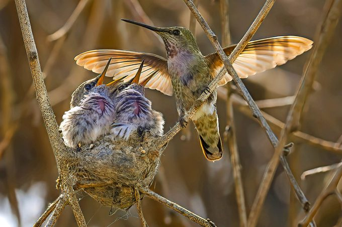 A pair of Anna's hummingbird chicks greet their mom as she flies back to the nest.
