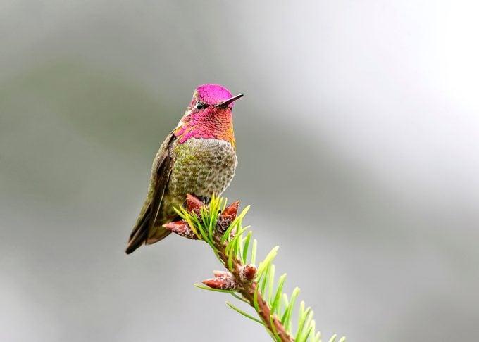 Annas Hummingbird13 042019ss