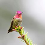 How to Identify Anna's Hummingbirds