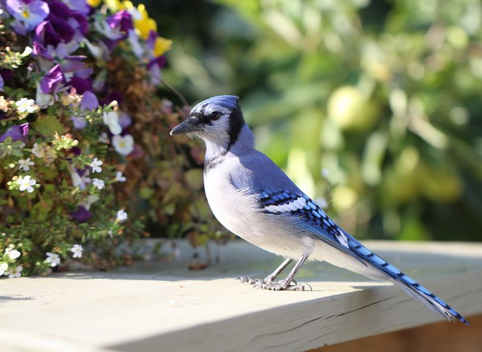 Blue Jay In My Backyard Getting Some Peanuts.