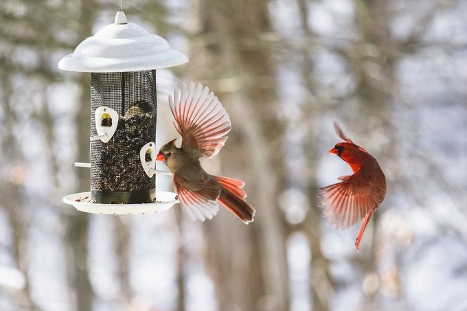male and female cardinal at feeder