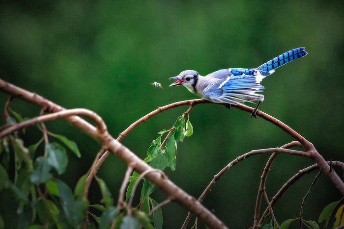 blue jay eating insect