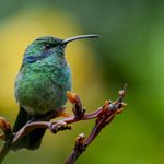 Discover the Colorful Hummingbirds of Costa Rica